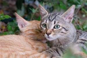 猫咪发春会有什么反应?
