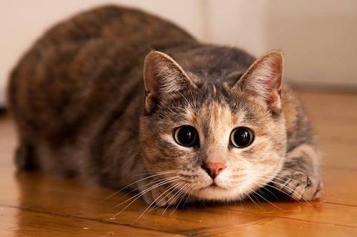 猫身上有虱子怎么办?如何处理?