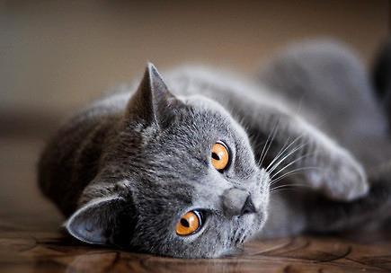 英国短毛猫到底有攻击性吗?