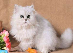 一只普通的美国银色虎斑短毛猫的价格