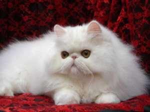 你可能不知道吧?波斯猫的最大的缺点?