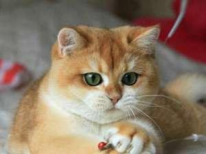 美国短毛猫能吃什么?吃什么品牌的猫粮好呢?