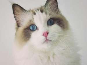 养猫宠主请注意:猫舍老板公布上海布偶猫实价