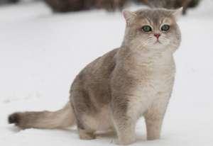 猫咪价格:武汉英国短毛猫多少钱?