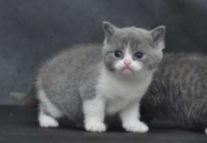 现在为什么英国短毛猫那么火?