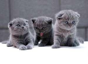 猫咪行情:英国短毛猫到底怎么卖?