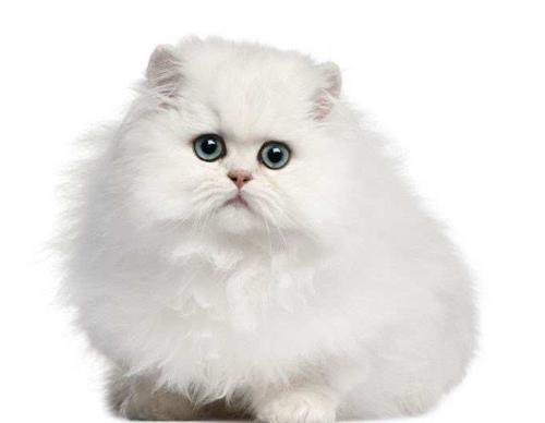 沙特尔猫毛发怎么护理?