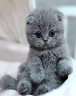 英短蓝猫品种介绍(英短蓝猫饲养方法大全)
