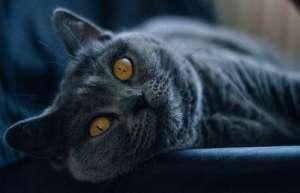 怎么给沙特尔猫清理耳垢?