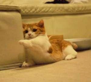 矮脚猫有什么缺点?