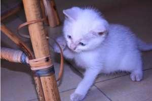 2个月的小猫可以吃肉吗?