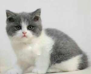 蓝白猫是什么品种?蓝白猫多少钱一只?