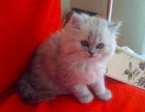 金吉拉幼猫怎么看品相?