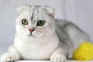 十大最受欢迎的宠物猫种类排行榜