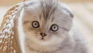 折耳猫怎么繁殖 折耳猫繁殖注意事项