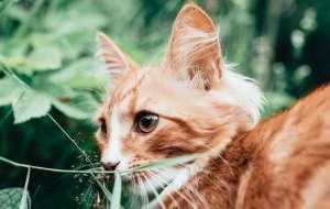 猫配对的时候为什么叫那么惨?