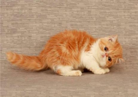 猫咪能经常吃火腿肠吗?有哪些饲养方式?