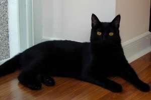 孟买猫和黑猫的区别,怎么区分?