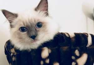 布偶猫为什么这么贵?