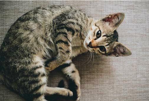 母猫不做手术怎么避孕?