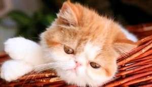 三个月的猫能吃多少蛋黄?