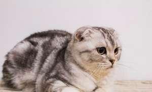 猫吃了鸡骨头怎么补救?