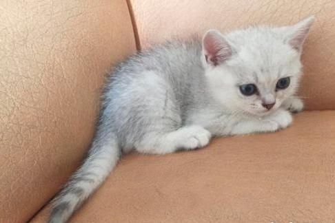 两个月的猫吃什么?
