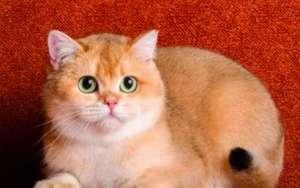 养猫首选这几种猫,不仅容易饲养,还很粘人!