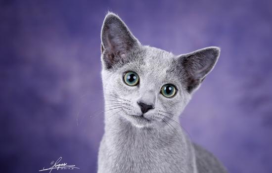 加菲猫脾气不好怎么驯服 加菲猫脾气不好怎么办