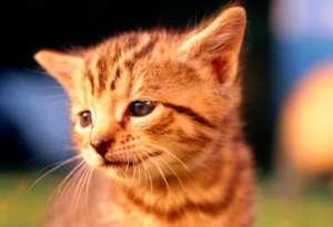 猫咪究竟是怎么得猫癣?