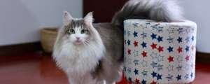 挪威森林猫怎么辨别?