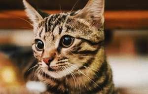 猫咪不爱吃饭而且消瘦是什么原因?