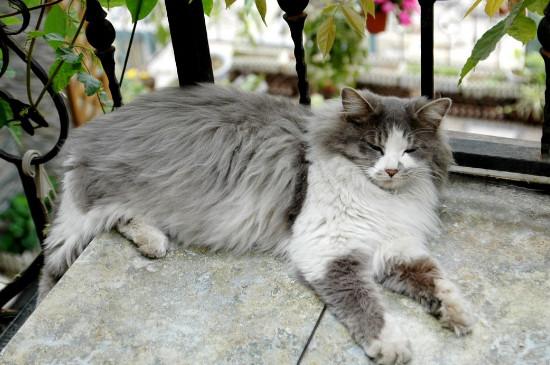挪威森林猫怎么辨别