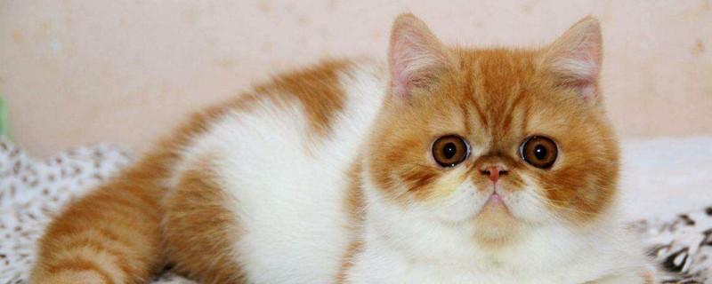 为什么没人养波斯猫