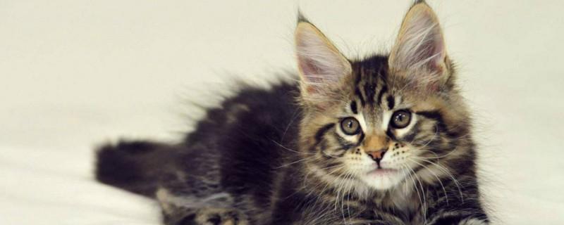 如何分辨缅因幼猫