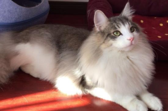 挪威森林猫价格多少钱一只,为什么这么贵
