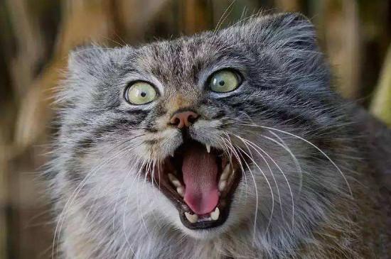 世界十大禁养名猫,这十种猫咪可千万不能碰