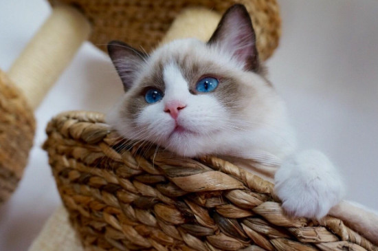 雪鞋猫和布偶猫的区别