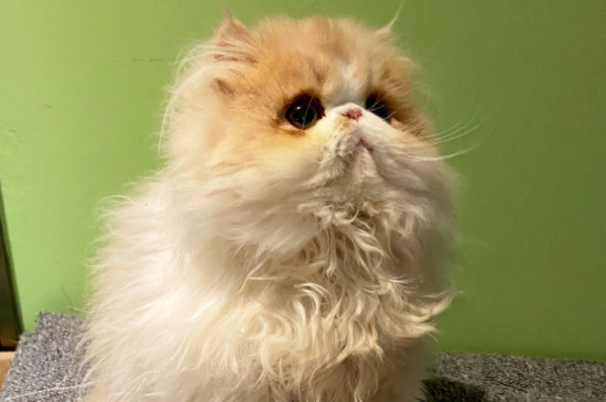 纯种鸳鸯眼波斯猫多少钱一只,价格一般在8000元左右