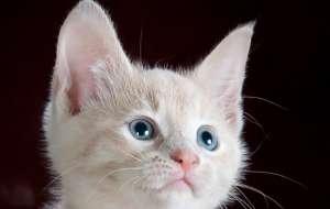 纯白猫咪有什么品种?