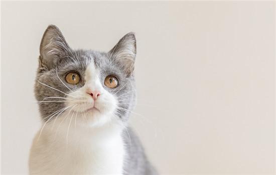 蓝金猫是什么品种配出来的