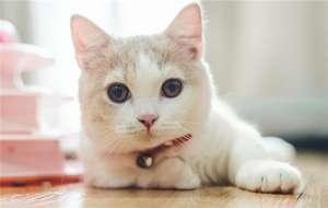 小蓝猫会抓老鼠吗?