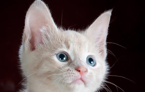 纯白猫咪有什么品种