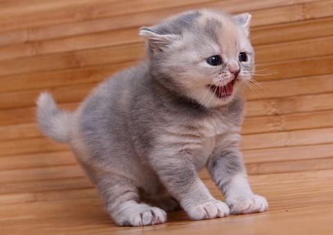 猫咪种类 图7