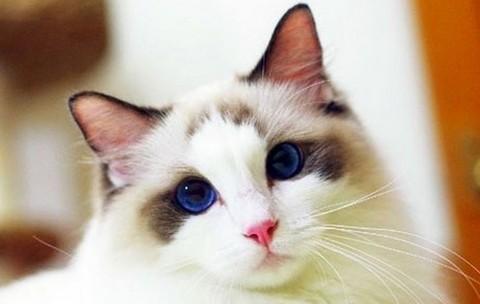 猫咪种类 图1