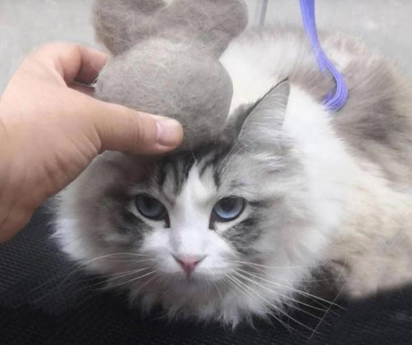 猫咪布偶猫