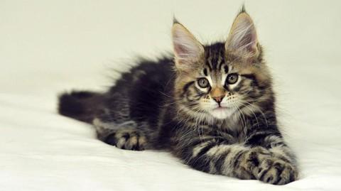 猫咪种类 图10