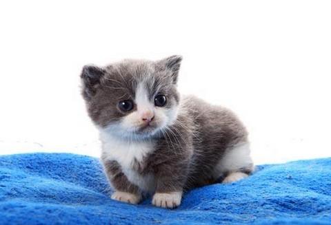 猫咪种类 图5