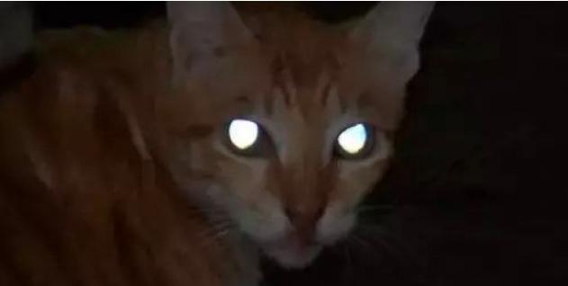 猫的眼睛为什么发光?