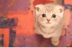 让猫咪毛发柔顺光泽的方法